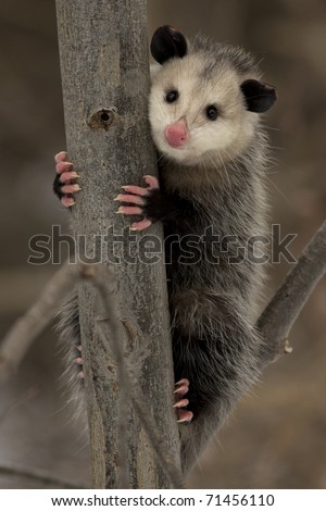 Virginia Opossum (Didelphis virginiana) - Ontario, Canada - stock photo