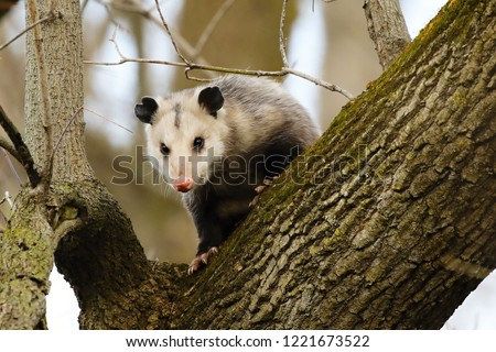 Virginia opossum  -  North American opossum, climbing on the tree.Wild scene from Wisconsin.