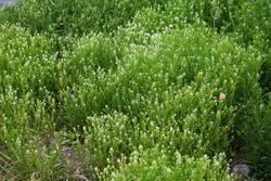 Virginia pepperweed. Brassicaceae biennial weed.