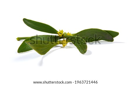 Viscum album, commonly known as European mistletoe, common mistletoe or simply as mistletoe, mistle. Isolated on white background. Foto stock ©