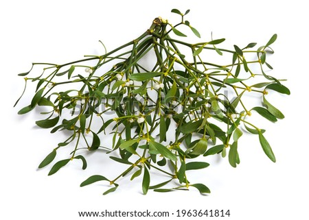 Viscum album, mistletoe branch, family Santalaceae, commonly known as European mistletoe isolated o a white background Foto stock ©