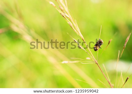 Visible Abdoment of Stripe Black and Yellow Bug (Paederus) Hanging on Dry Grass Stem
