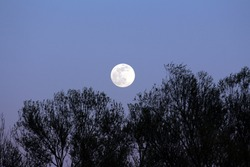 Visible large full Moon on clear sky background rising above dense trees without leaves silhouettes at local forest at sunset on warm spring day