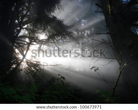 Visitor in the tree, or light beams in mist (Northern California, USA) - stock photo