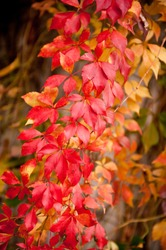 Vitaceae family red plant Parthenocissus quinquefolia vine yellow red leaves abstract on blurred background. Plant called woodbine, Virginia creeper, five leaved ivy, or five finger.