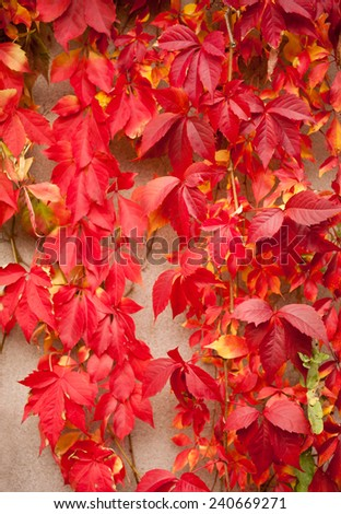 Vitaceae ivy wall abstract, Parthenocissus quinquefolia red vine leaves on wall background. Plant called woodbine, Virginia creeper, five leaved ivy, five finger. Ornamental climber plant large leaves
