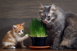 Vitamins for cats - germinated oats. Big cat and little kitten eating the grass and oats. Grass in the flowerpot. Cat gray, grass green.  Germinated oats is useful for cats and kittens