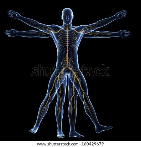 vitruvian man - nervous system