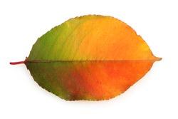 vivid autumn leaf isolated on white