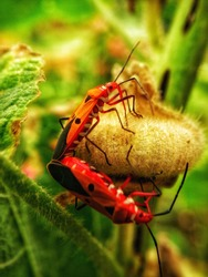 Vivid color bugs, mating with low key background