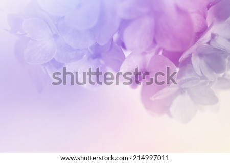 vivid color hydrangeas in soft color for background