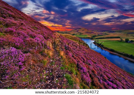 Vivid colorful landscape scenery with a footpath through the hill slope covered by violet heather flowers and green valley, river, mountains and cloudy blue sky on background. Pentland hills, Scotland