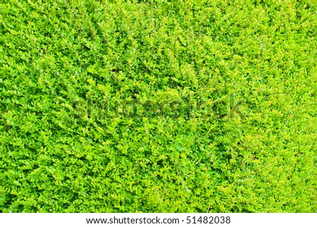 Vivid detail background of green hedge