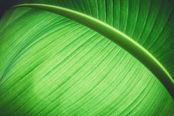 Vivid green colored leaf of banana tree macro background.