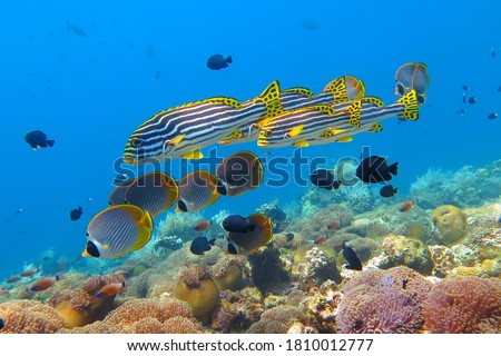 Vivid healthy coral reef with swimming yellow fish (Ribboned sweetlips). Tropical fish and coralsl in the blue ocean. Marine life, underwater photography from scuba diving. School of tropical fish. Сток-фото ©