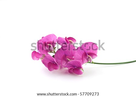 Vivid magenta blossoms of the wild sweet pea on white background with copy space, in horizontal format
