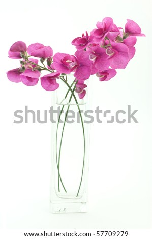 Vivid magenta blossoms of the wild sweet pea on white background with copy space, in vertical format