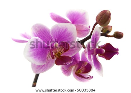 vivid pink phalaenopsis orchid flower isolated on white