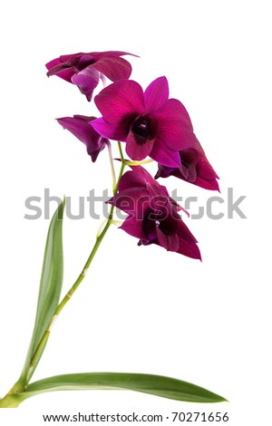 vivid pink phalaenopsis orchid flower plant  isolated on white
