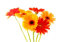 Vivid red and yellow gerbera on white background