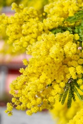 Vivid shot of Acacia pycnantha flowers (mimosa tree, golden wattle) with blue sky in background.bright yellow flowers, coojong, golden wreath wattle, orange wattle, blue-leafed wattle, acacia saligna.
