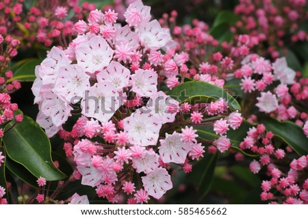 Vivid  to pale pink Mountain Laurel (Kalmia latifolia), closeup on the Blue Ridge Parkway, Tennessee makes for colorful spring travel. #585465662