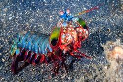 Vividly colored Peacock Mantis Shrimp on a black sandy seabed