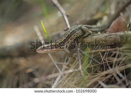 Viviparous lizard or common lizard, Zootoca vivipara
