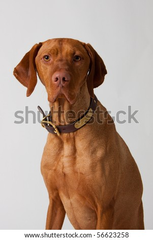 Vizsla Dog on White Background
