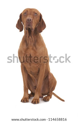 vizsla dog sitting on white background