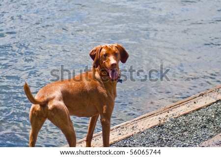 Vizsla standing happily next to the water at a dog park on a beautiful sunny day.