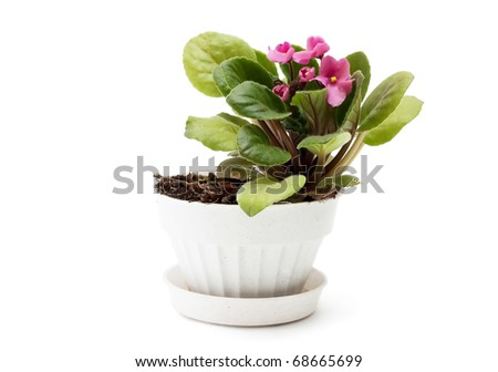 Voilet in a flowerpot closeup. Isolated over white background.