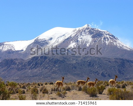 Volcano and Vicunas on Andes Altiplano