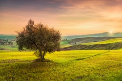 Volterra, countryside panoramic view, lonely olive tree, rolling hills and green fields on sunset. Pisa, Tuscany Italy Europe.