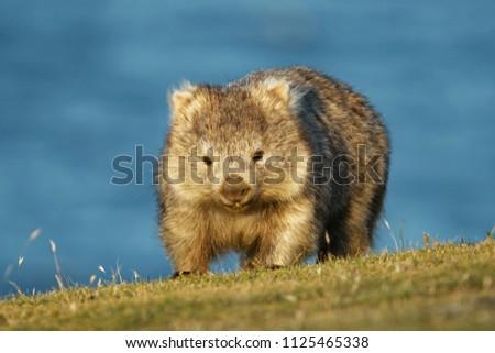 Vombatus ursinus - Common Wombat in the Tasmanian scenery, eating grass in the evening on the island near Tasmania.