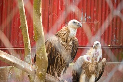Vulture Bird. white-rumped vulture is native to South and Southeast Asia.