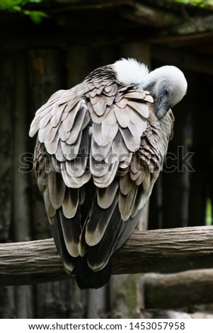 Vulture cleans feathers and sits on branch.
