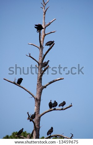 Vulture hierarchy on the tree branches - stock photo