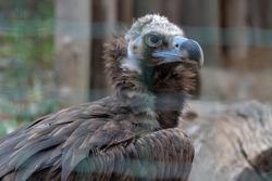 Vulture in the Zoo of Prague. Captivity bird of prey