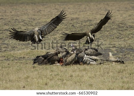 Vultures feed on carcass