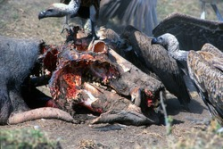 Vultures feeding off a dead hippo. Skull exposed. Maria Mara. Africa. Maybe poaching