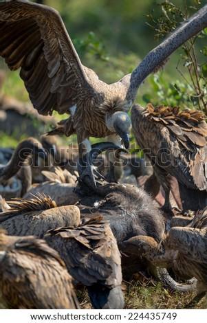 Vultures Feeding on a Buffalo Carcass #224435749
