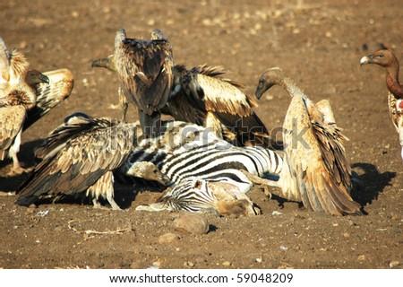 Dead zebra coupon