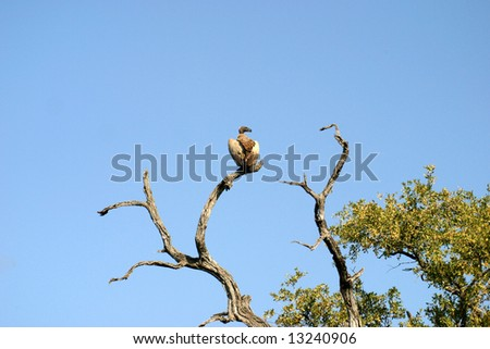Vultures in a tree in the Mabalingwe Reserve (South Africa)
