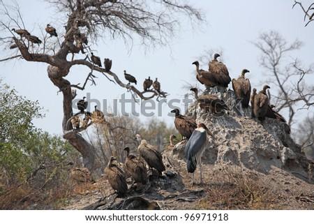 Vultures waiting near dead elephant in Botswana's Okavango Delta