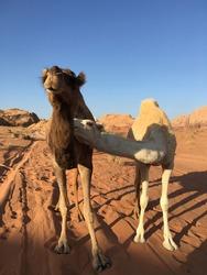 Wadi Rum, Jordan, Nov 8, 2019, Camels raised by Bedouins in Wadi Rum Desert
