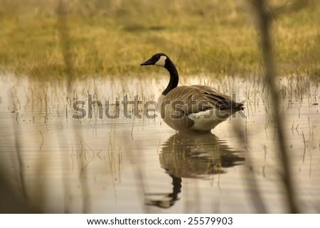 Wading Canada Goose