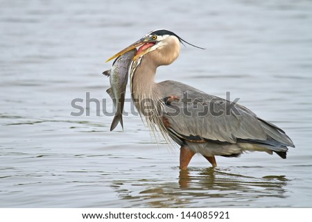 Wading Great Blue Heron With Fish