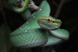 Wagler's Pit Viper, is perhaps the commonest pit viper in Southeast Asia, Pit vipers are all venomous, however Wagler's Pit Viper is generally not considered to be aggressive.