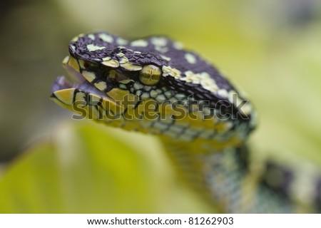 pit viper, temple viper, temple pit viper, bamboo snake